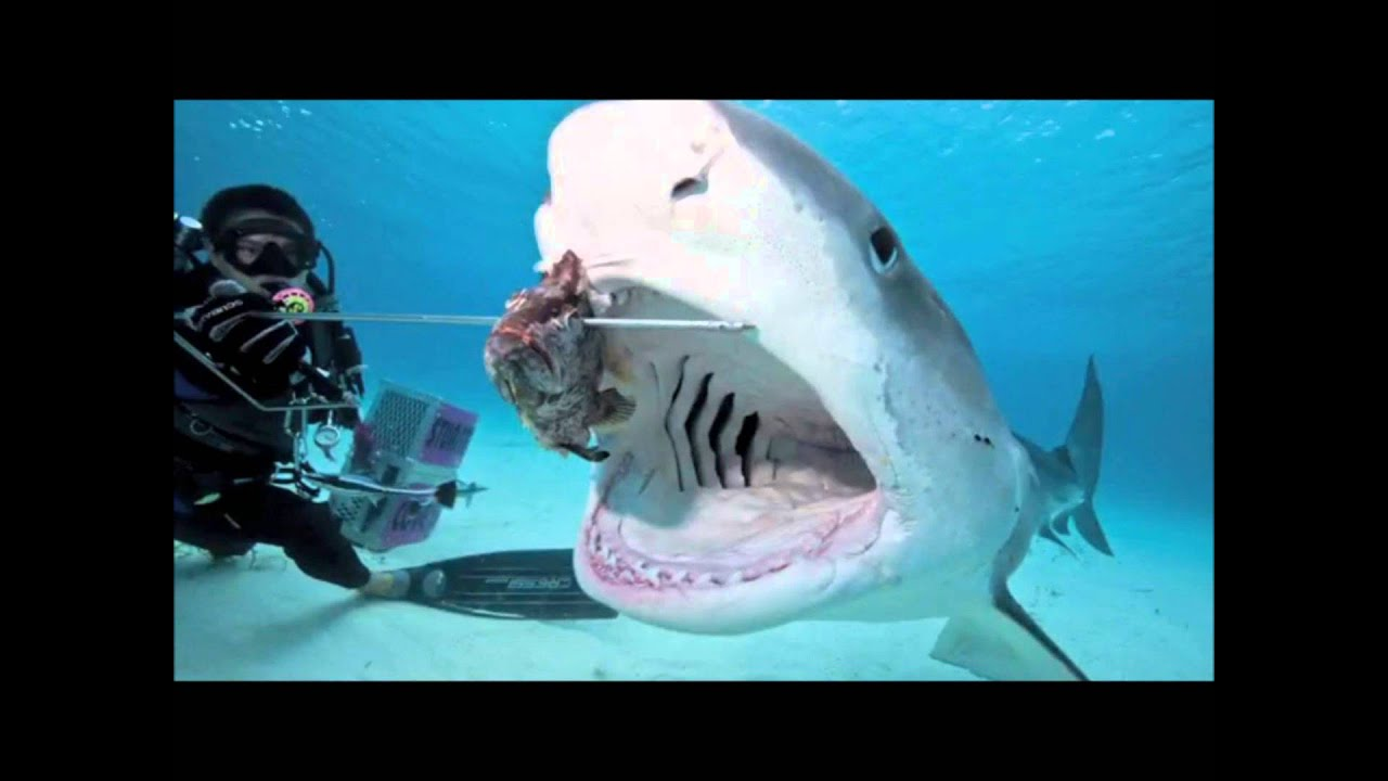 top:los 10 tiburones mas agresivos - YouTube