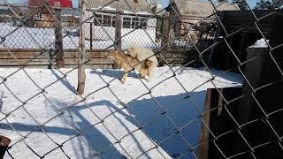 самоед vs волчица) собака vs волк)