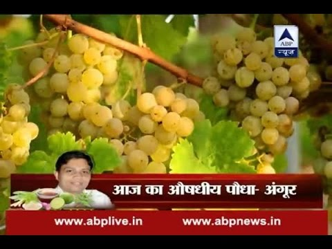 Acharya k Nuskhe: Grapes are rich in health-protecting antioxidants, including resveratrol
