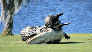 Alligators fight on Florida golf course