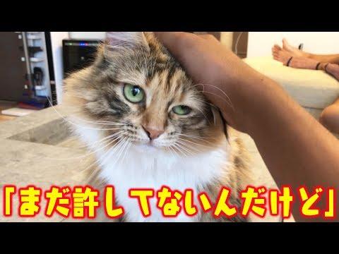大嫌いなトリミング後でふてくされてる猫