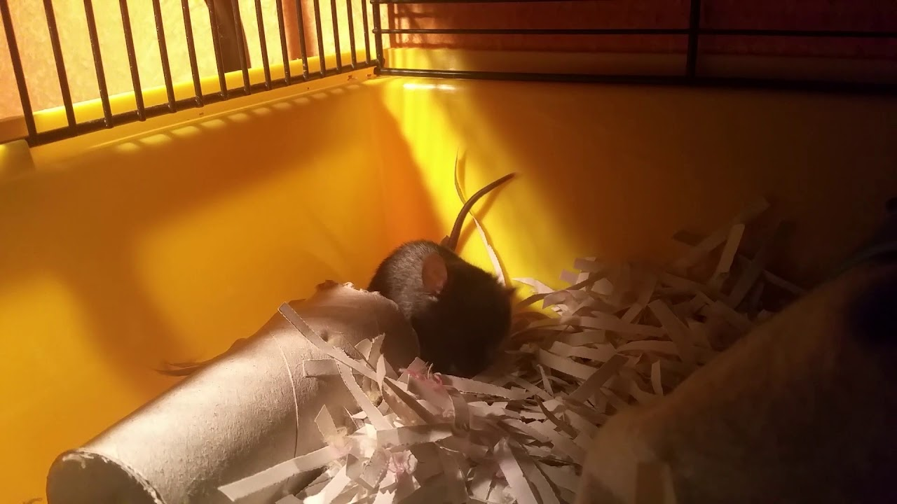 laboratóriumi egerek helminták