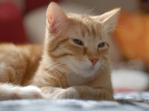 European Shorthair Cat Breed   Information about European Shorthair Cats