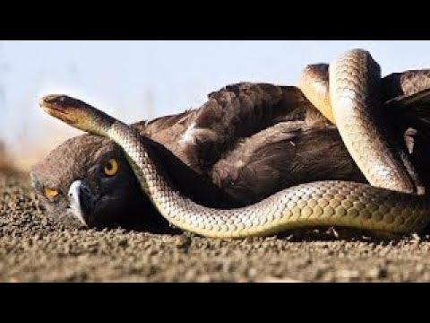 Giant Anaconda vs Cow Animal Attacks - Eagle Snake Mongoose Cobra Leopard Python Tiger