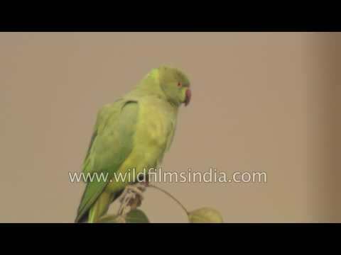Birds of Delhi: Yellow-legged Green Pigeon, Rose-ringed Parakeet and Ring Dove