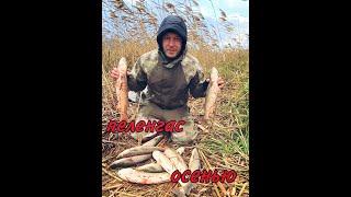 Пеленгас осенью на нереиса морского червя
