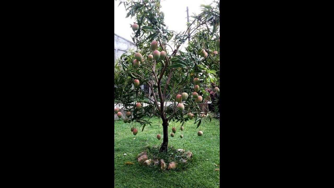 buah buahan pohon kecil buahnya bany - YouTube
