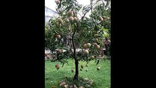 buah buahan pohon kecil buahnya bany