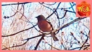 Зяблик поёт для меня Птицы весной🐦