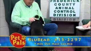 Meet Blu Bear A Retriever Labrador Currently Available For Adoption At Petango.com! 12/8/2014 8:58: