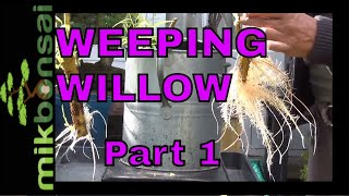 How to Bonsai a Weeping Willow Tree part 1