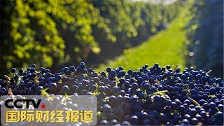 """[国际财经报道] 宁夏:酿酒葡萄开摘 贺兰山麓迎""""紫色丰收""""   CCTV财经"""