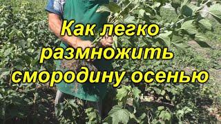 Так размножить смородину сможет каждый! Осеннее размножение смородины.