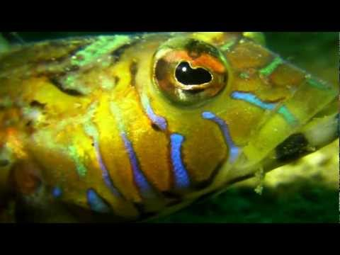 美しい虎模様のトラギス  Harlequin sandsmelt