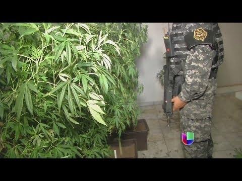 Descubren cosechas de marihuana hidropónica en México -- Noticiero Univisión