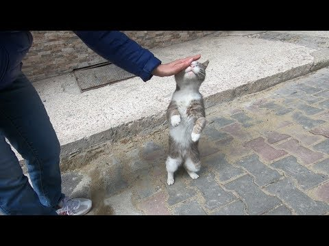 Grey and white cat meowing unbelievably cute
