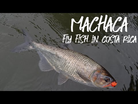 Some Machaca - Fly Fish In Costa Rica 2017