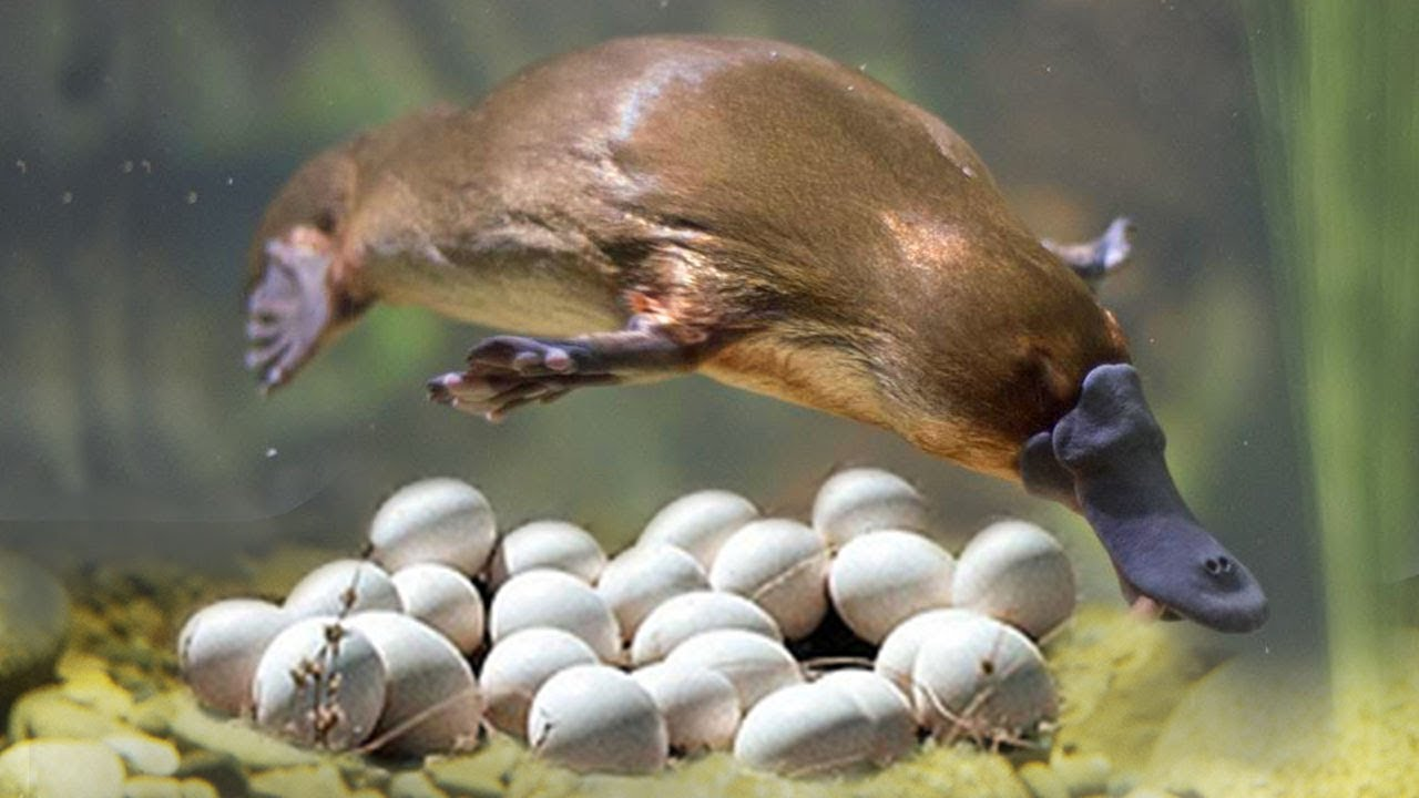 great mom platypuses laying