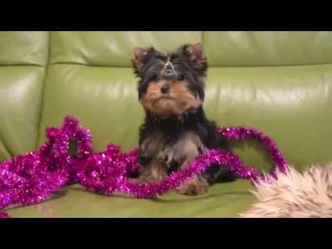 Yorkshire terrier mini puppies for sale