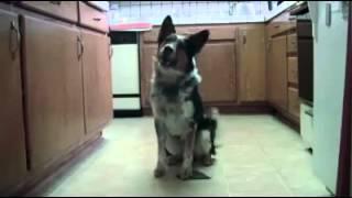 Умная собака которая умеет практически всё!