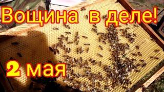 Пчёлки начали тянуть вощину - 2 мая 2020г. / Южный Урал