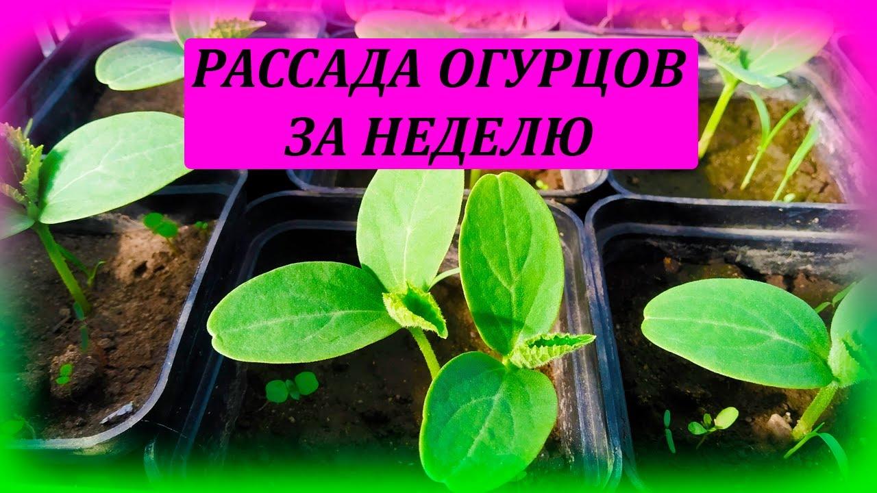 Рассада ОГУРЦОВ всего за неделю! Как вырастить рассаду огурцов. Выращивание огурцов.