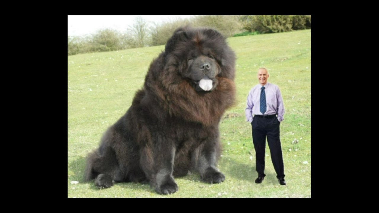 The Biggest Dog In The World Youtube
