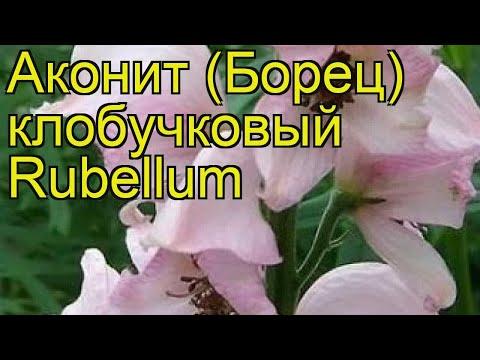 Аконит клобучковый Рубеллум. Краткий обзор, описание характеристик aconitum napellus Rubellum