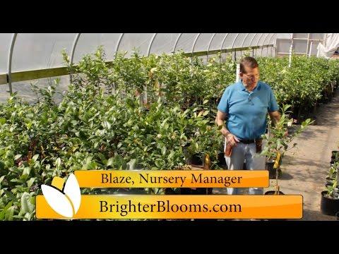 Meyer Lemon Trees At Brighter Blooms Nursery