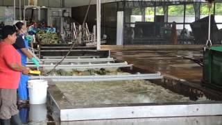 4# Kostaryka - Film z fabryki oraz uprawy Ananasów (Napisy PL)