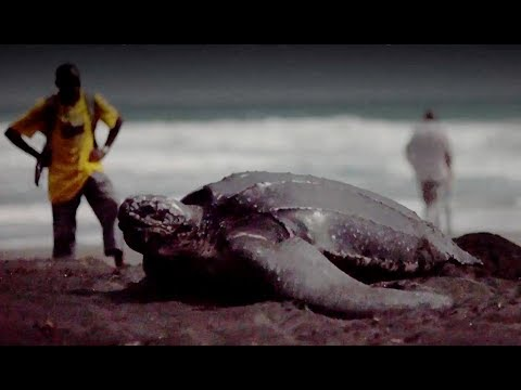 Download Youtube: Protecting Leatherbacks By Educating Dominica's Children - Blue Planet II Behind The Scenes