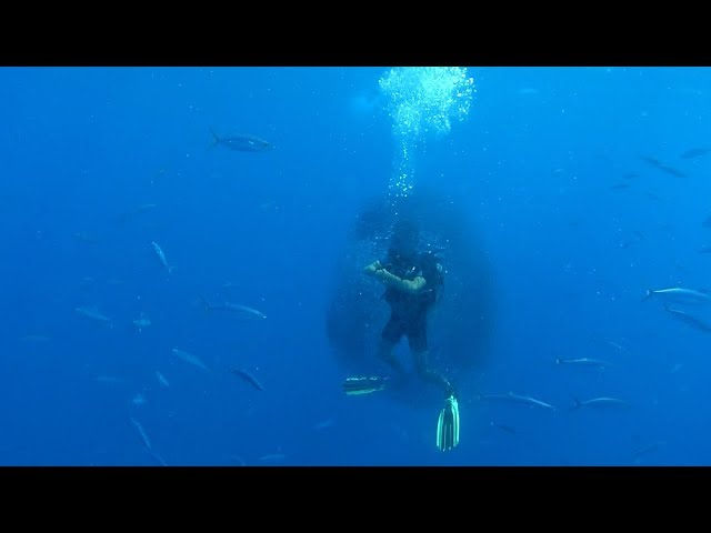 Fish Surround Diver In A Bait Ball For Protection From Shark