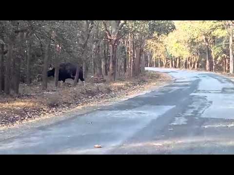 Wild Bison crossing road in Karnataka forest