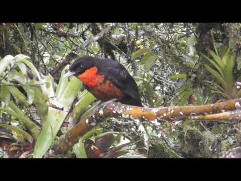 Birds of Colombia | Aves de Colombia