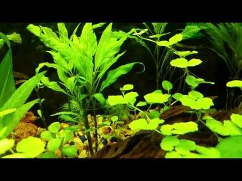 My Siamese Algae Eaters Had Baby's