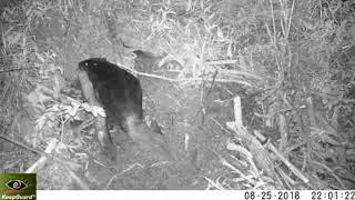 Бобры в заповеднике «Кузнецкий Алатау» восстанавливают хатку после нападения медведя