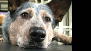The Tale of Rescue: A Teaser by Chant (the cattle dog who inspired the story and paintings)
