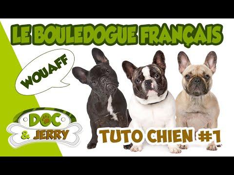 le-bouledogue-français---the-french-bulldog-:-tuto-chiens-#1