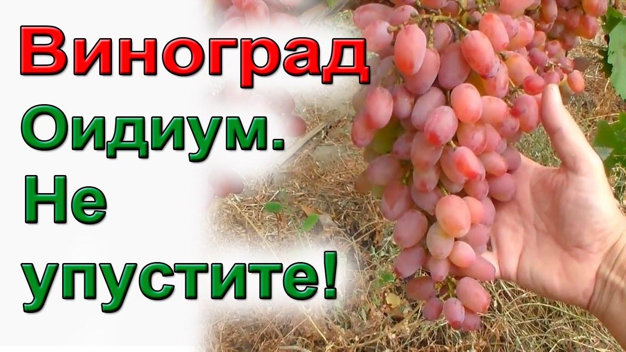 Как надежно защитить виноград от оидиума