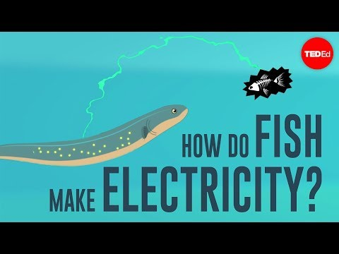 Video image: How do fish make electricity? - Eleanor Nelsen
