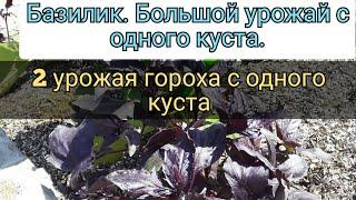 Базилик Что нужно сделать Для Большого Урожая Горох 2 урожая с Одного куста Огурцы без химии