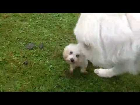 Pyrenean Mountain Dog Yogi treads on Bichon by accident.