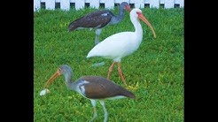 Florida Keys Bird Watching - Ibis Sea Birds in Key West Florida