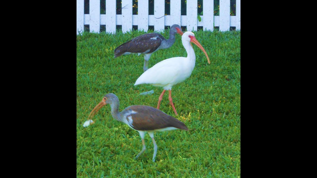 florida keys bird watching ibis sea birds in key west florida youtube