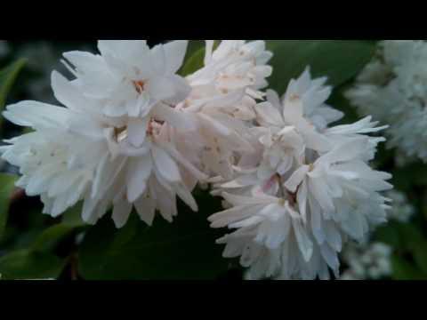 Дейция шершавая, кустарник: цветет летом 2017, маленькие белые цветы