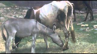 Donkey Drink cow milk