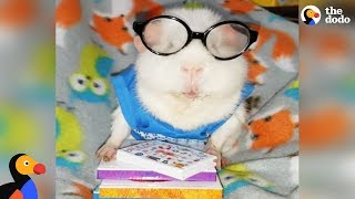 SPOILED Rescued Guinea Pig Has The Best Wardrobe  | The Dodo