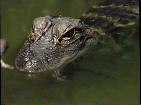 National Geographic - Gus the Alligator