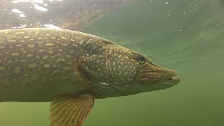 How to catch big pike and perch with Matt Hayes!