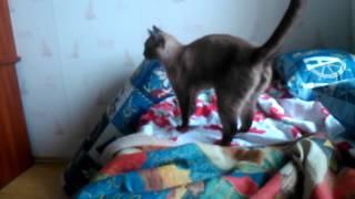 Злой сиамский кот